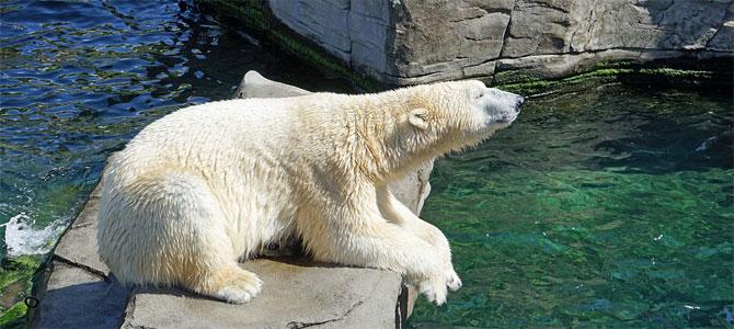 ijsberen dierentuin sneeuw