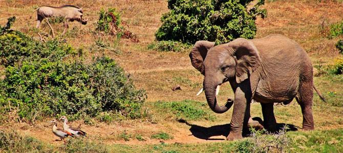 Afrika kruger olifant