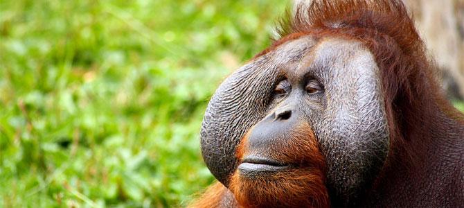 tinder voor orang oetang in dierentuin