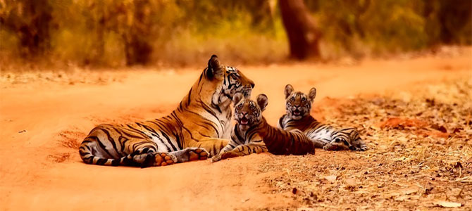 tijger reizen india